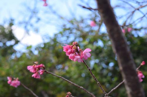 沖縄のピンク色の緋寒桜